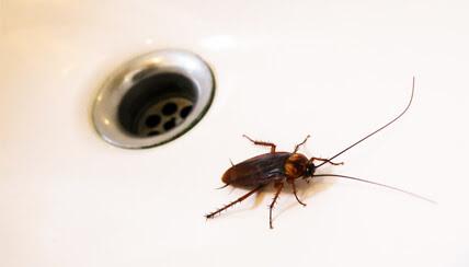 cockroach allergy