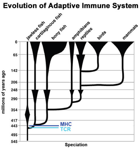 evolution of adaptive immune system