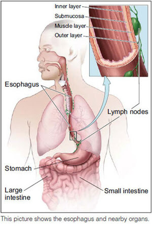 Diagram of esophagus