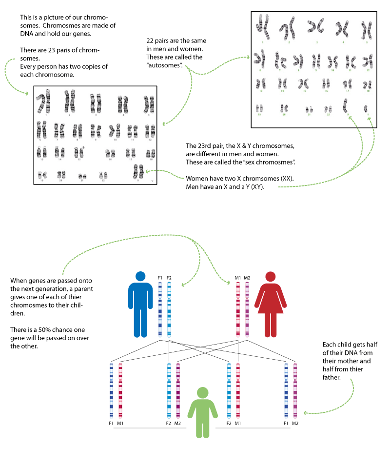 Inheritance of Genes