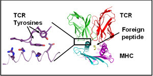 TCR (in red and green) reacting with a foreign peptide (in yellow) bound to MHC (in cyan and lavender)