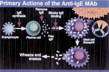 Primary actions of the Anti-IgE MAb