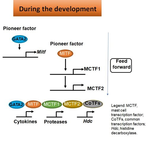 Pioneer factors induce a network of transcription factors that control the expression of genes that confer effector cells with specified functions.